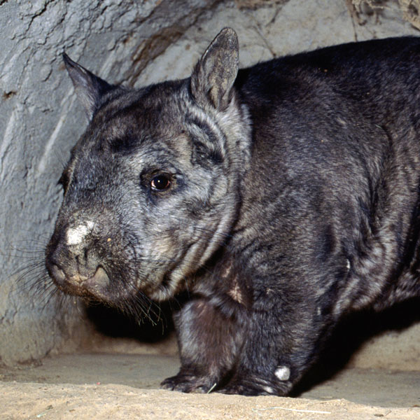 Wombats Sharks Possums Frogs Australia S Animals At Risk Of