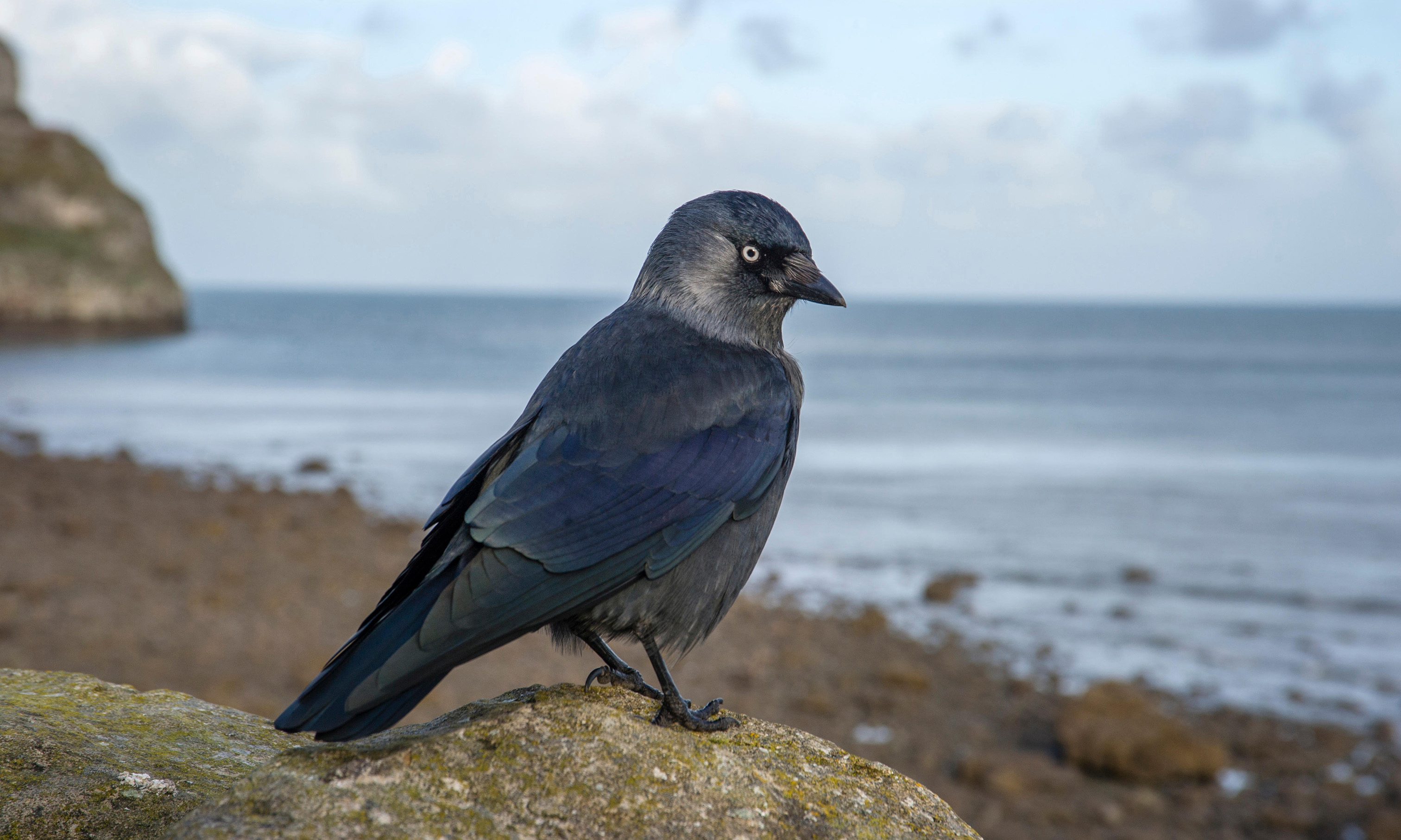 The impudent strut of the jackdaw: Country diary, 20 October 1919